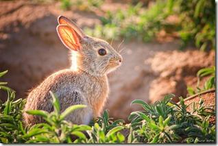 Baby Bunny III