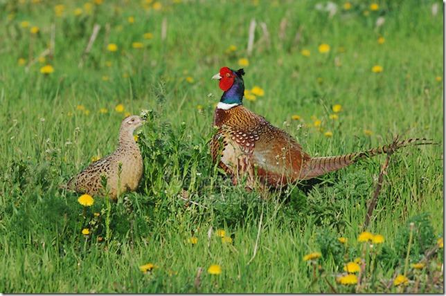 pheasant pair2