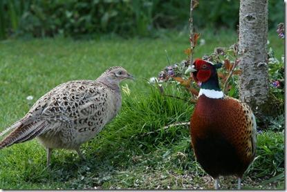pheasant pair_4098