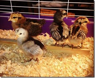 Chicks2016